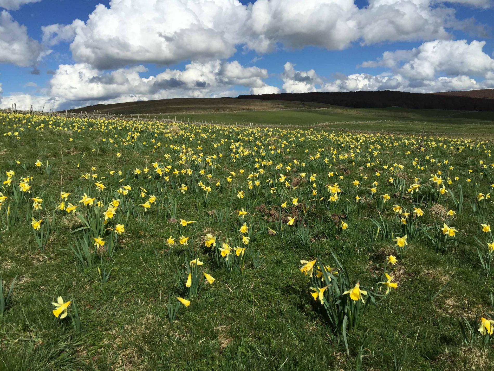 Champs de narcisses: le printemps sur l'Aubrac